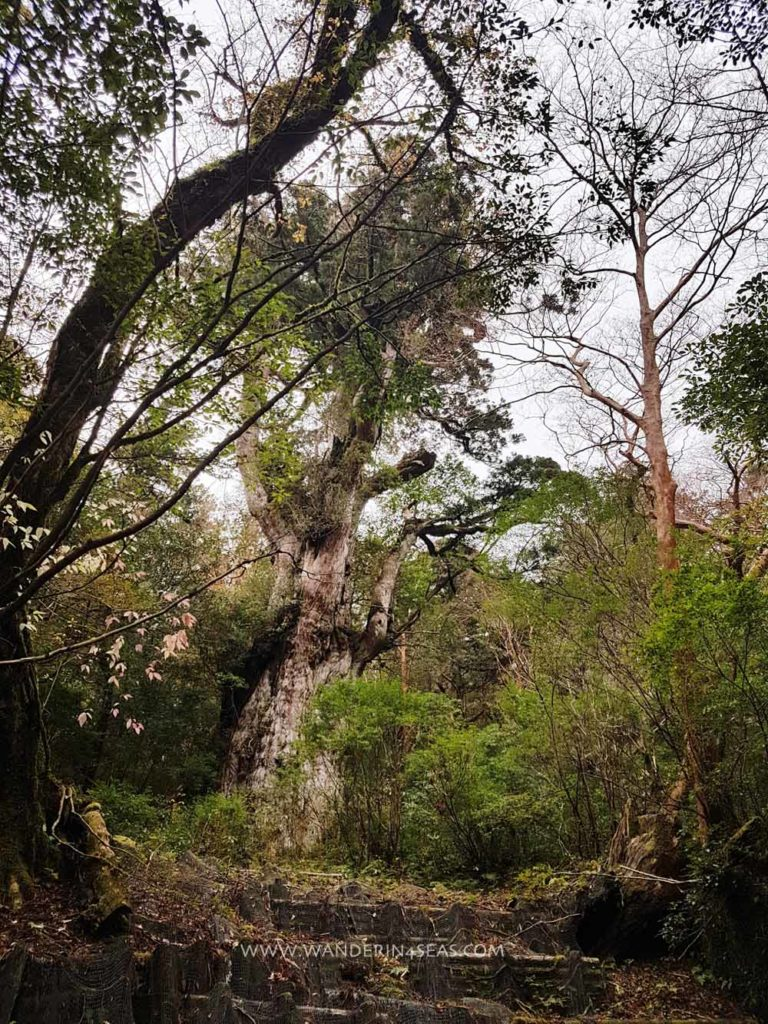 Jymon Sugi - oldest cedar tree on Yakushima