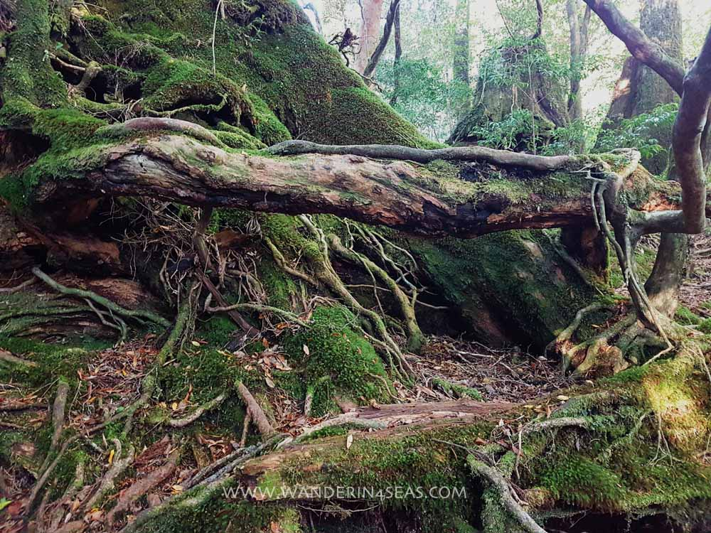 Moss covered tree trunk on on Yakusugi land trail