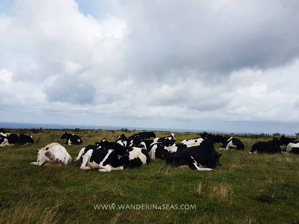 View of resting cows