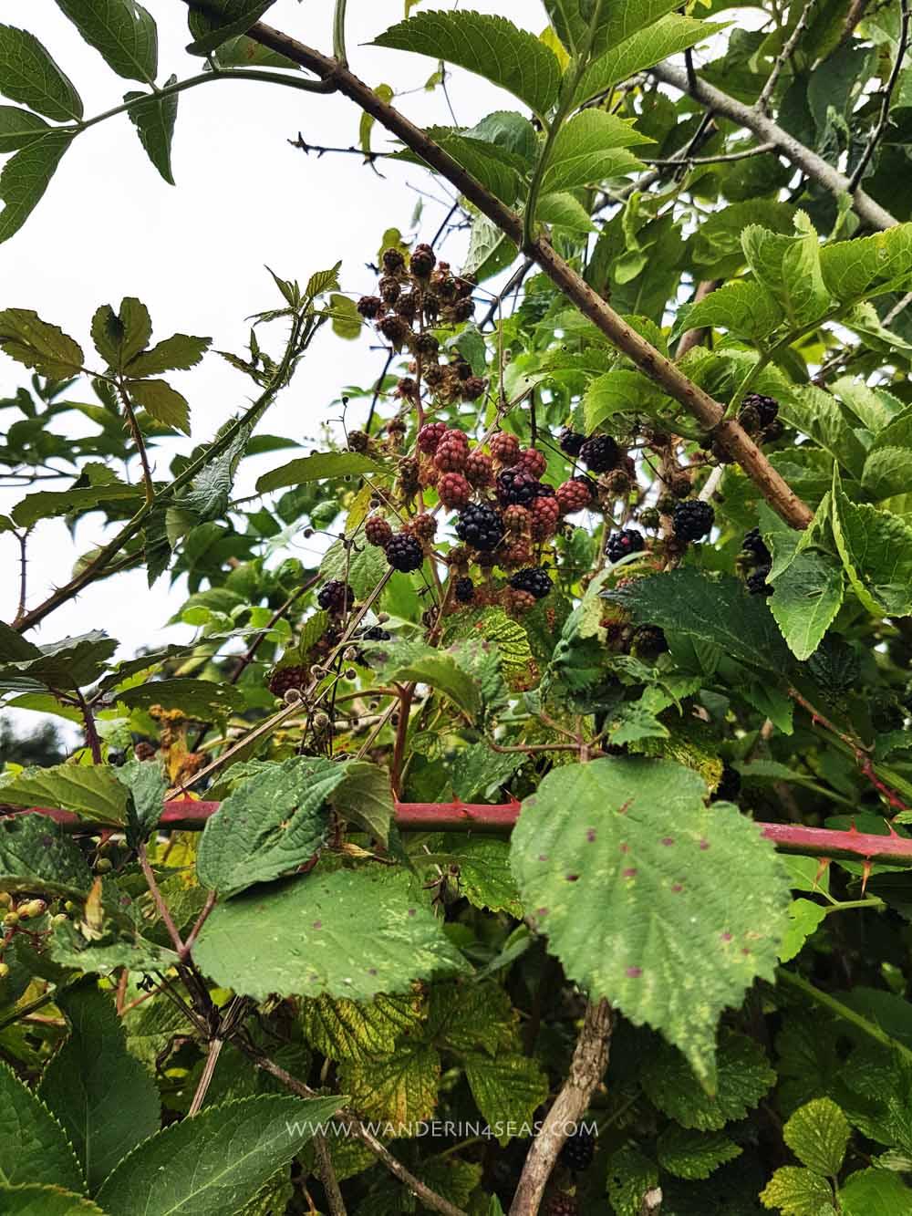 Sumptuous black berries